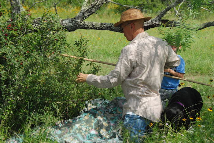 Mike Casey taps an agarita bush with a bamboo pole to dislodge the berries onto the sheet below. Photo by Josie Seeligson.