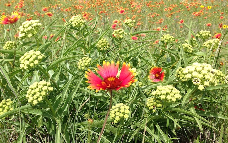 Antelope horns and Indian blanket dot the roadside in the Texas Hill Country this weekend. Photo by Monika Maeckle.