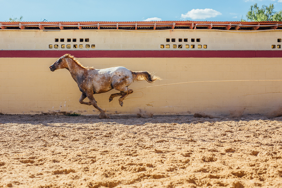 A horse gallops during the piales en lienzo event. Photo by Scott Ball.