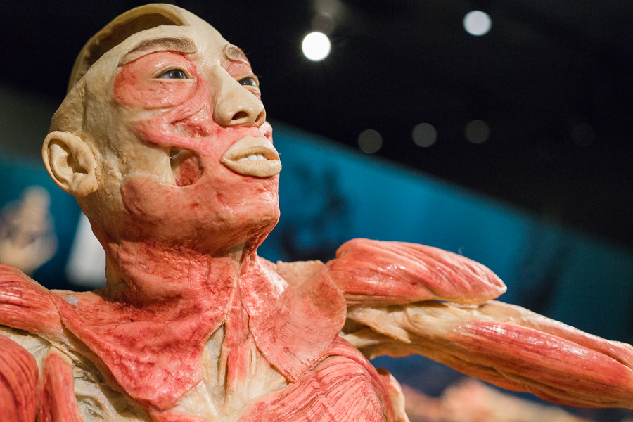 A close up of a specimen used to demonstrate the muscular system. Photo by Scott Ball.