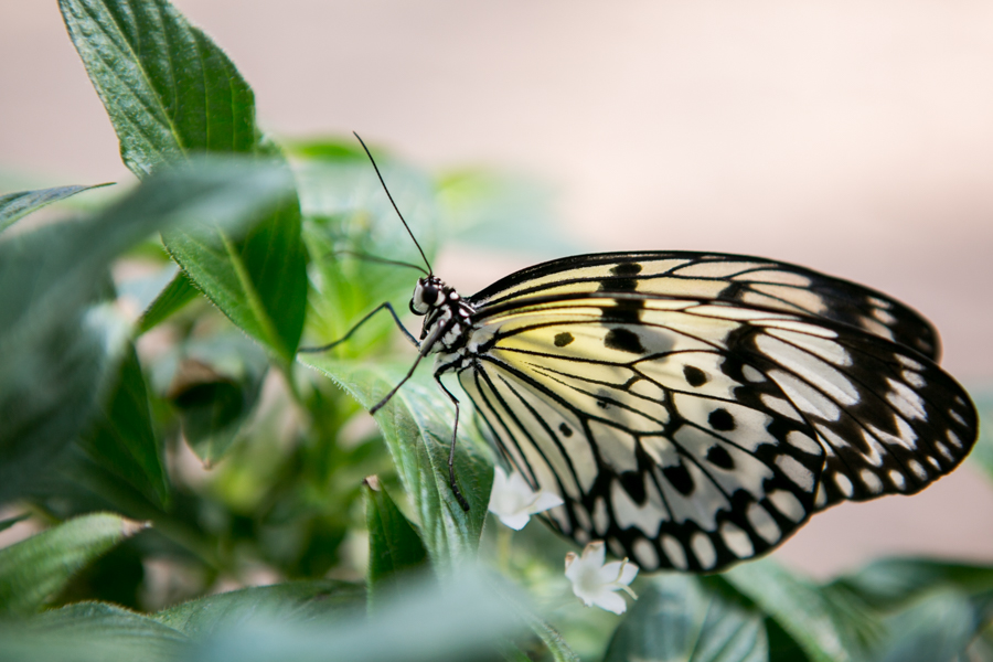 The Paper Kite butterfly, which shares a similar stained glass wing pattern with Monarchs but in cream and white, will be flying at the Zoo's Monarch Fest this weekend. Photo by Kathryn Boyd-Batstone