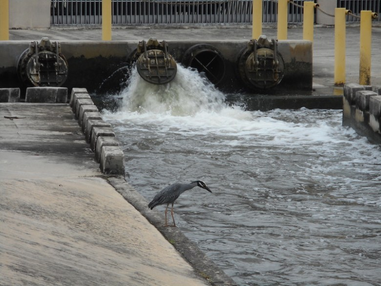 Just below the flood intake structure on the San Pedro Creek, a bird goes fishing. In two years, a beautiful plaza will celebrate the San Antonio Tricentennial. Photo by Don Mathis.