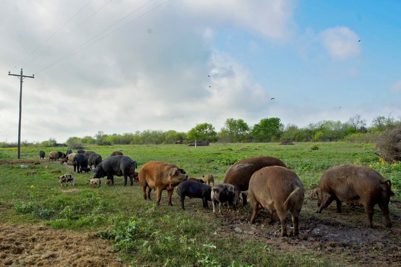 The hogs at Peaceful Pork are raised on an open range where they are free to reproduce with wild pigs. Photo by Kathryn Boyd-Batstone