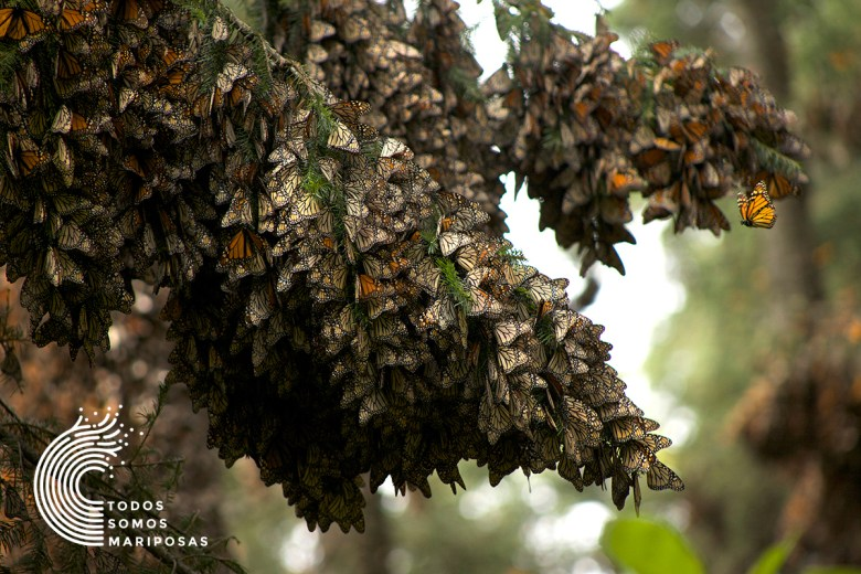 Hundreds of Monarch butterflies settle in a tree in the Monarch Butterfly Biosphere Reserve in Michoacán, Mexico. Photo by David Romero.