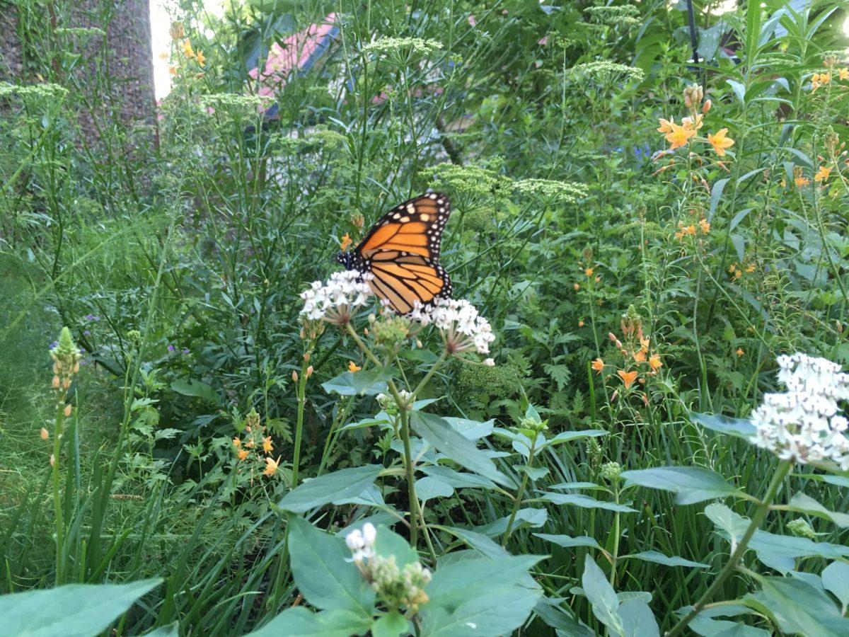 Monarch on native milkweed