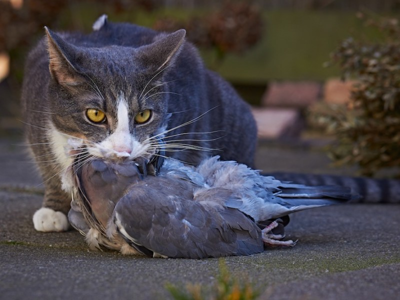 A cat with its prey. Photo by Rob Schoorel.