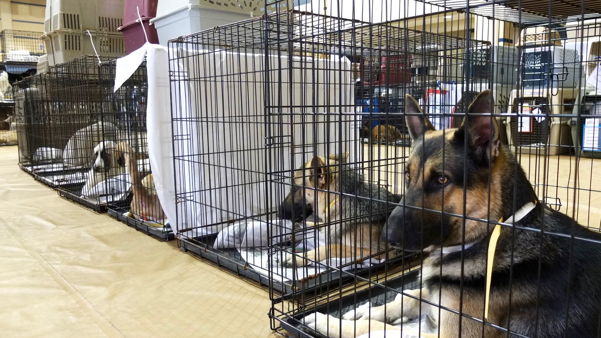 The big dogs waited for their turn in surgery at the front of the gymnasium. Photo by Abbey Francis.