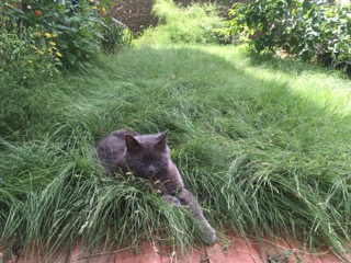 Houdini, an outdoor cat, lounges in the shade. Some researchers would rather cats stay indoors. Photo by Monika Maeckle.