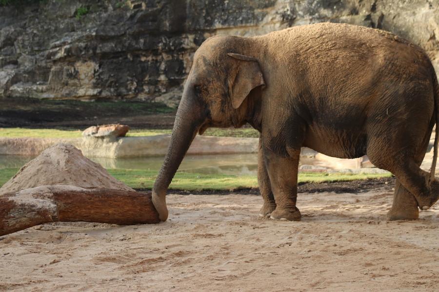 40 year old Asian elephant, Nicole. Courtesy of the San Antonio Zoo.