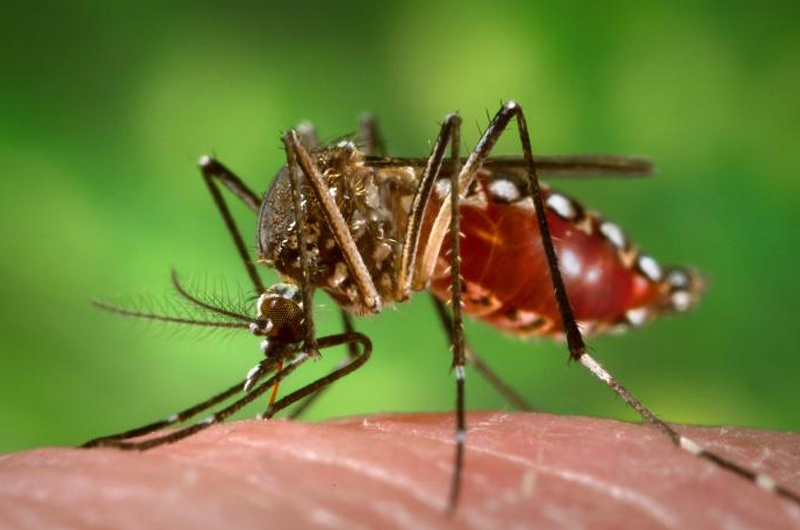Aedes Aegypti Mosquito. Photo courtesy of the U.S. Department of Health and Human Services.