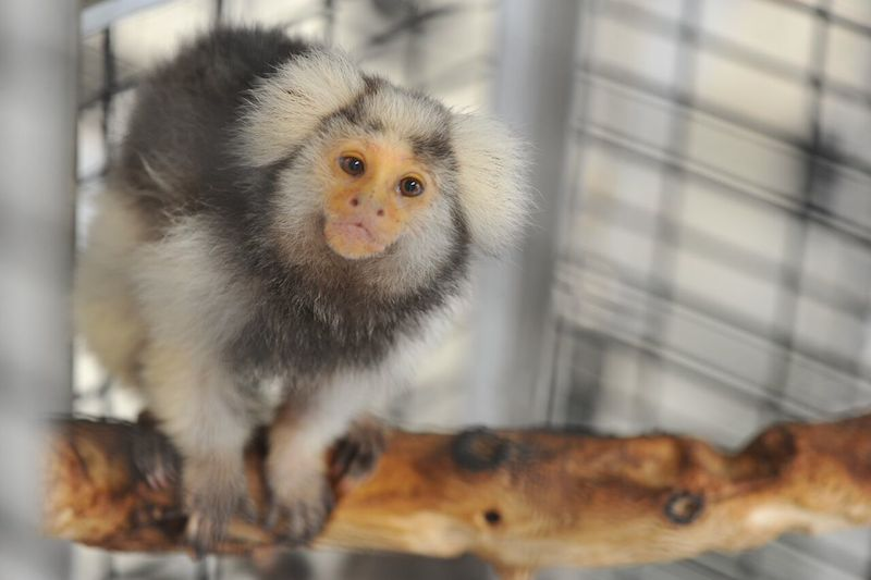 A primate sits atop a twig inside the SNRPC. Photo by G. Harrison for Texas Biomed.