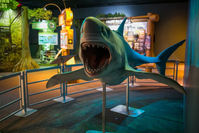 A model of a great white shark. Photo by Kathryn Boyd-Batstone.