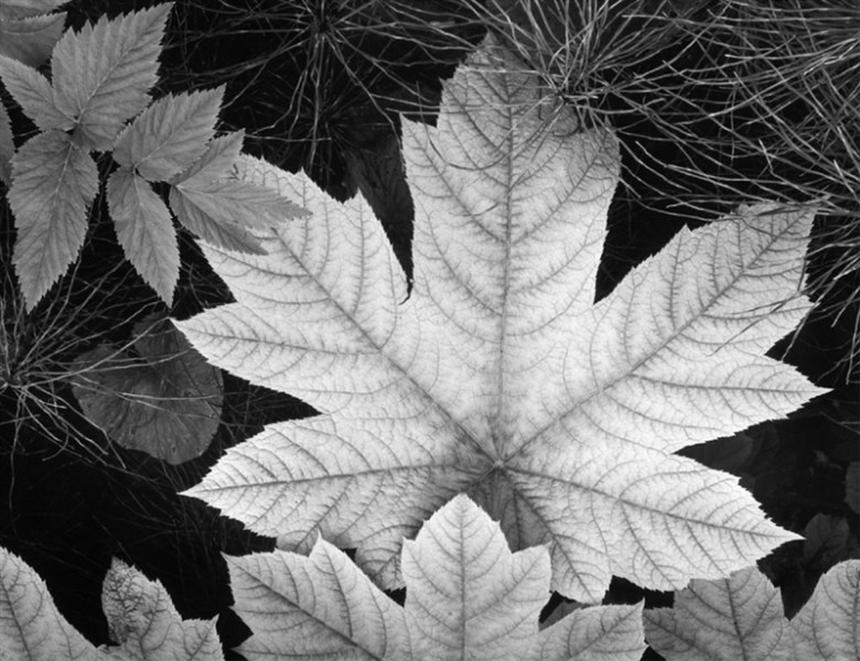 Leaf, Glacier Bay National Monument. Photo by Ansel Adams, courtesy of the Briscoe Western Art Museum.
