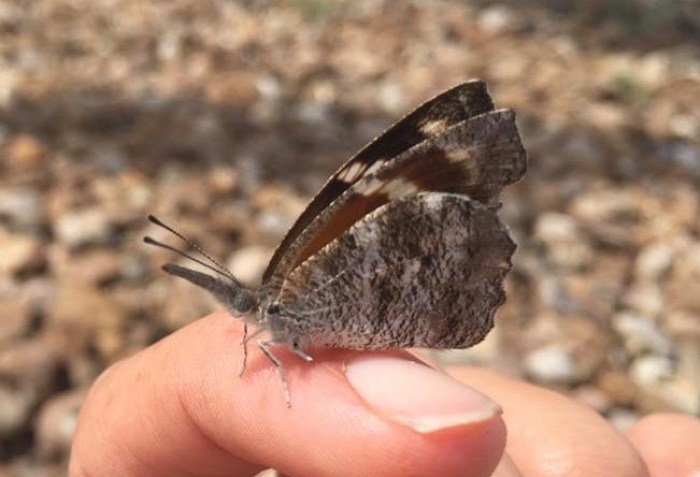 Side-view of snout butterfly