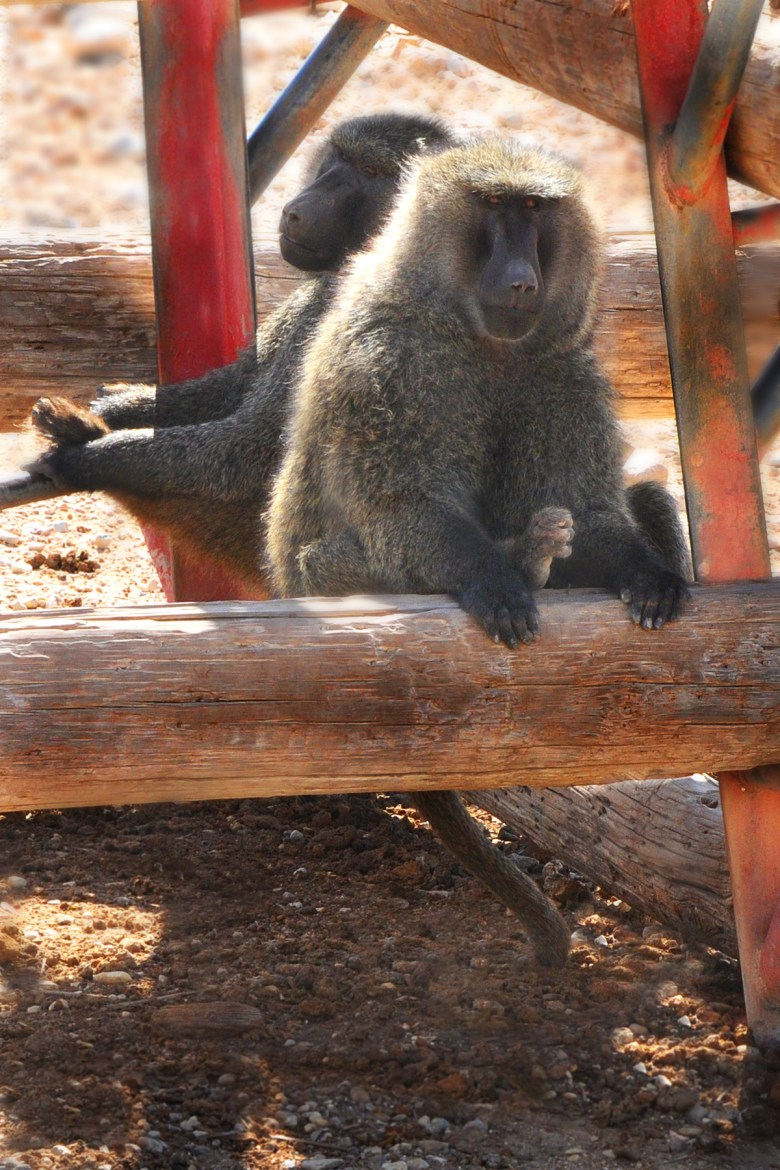 Baboons are one of the different species of primates housed at the Southwest National Primate Research Center located at Texas BioMed.