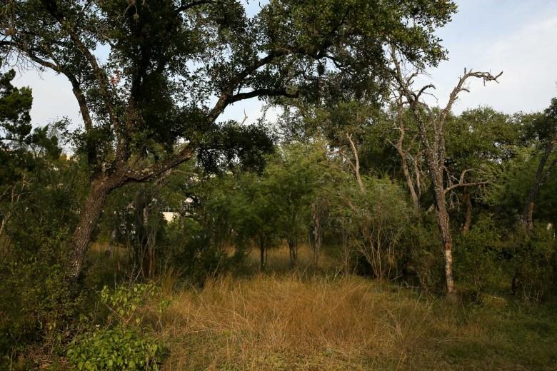 Live oak trees surround a few dead oak trees in the Hollywood Park neighborhood.