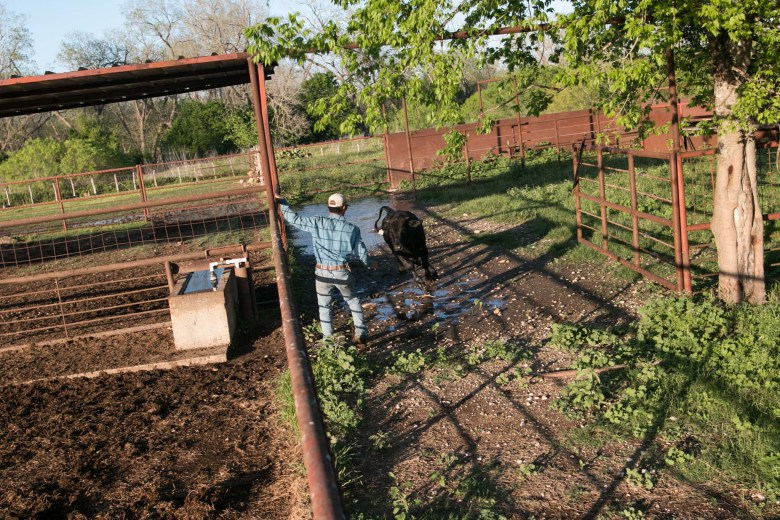El Capote Ranch ranch hand Kaleb Wagner herds a cow towards a shoot.