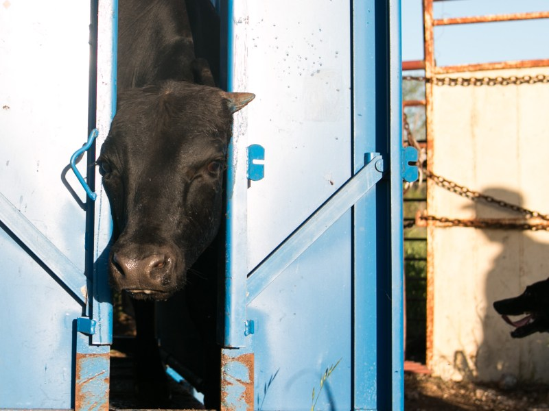 A cow is trapped in a shoot while Wendell Thuss and Nala the dog wait to let it go.