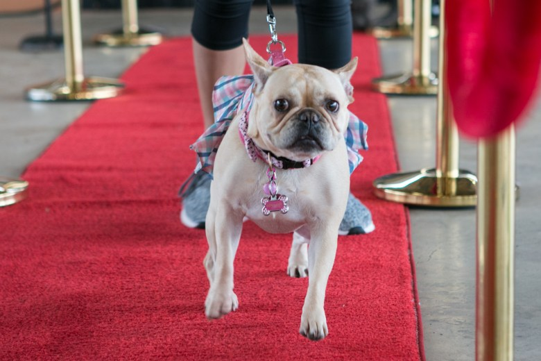 Penny runs down the red carpet at the 5th Annual Bark in the Park – Perrito Grito in Rosedale Park.