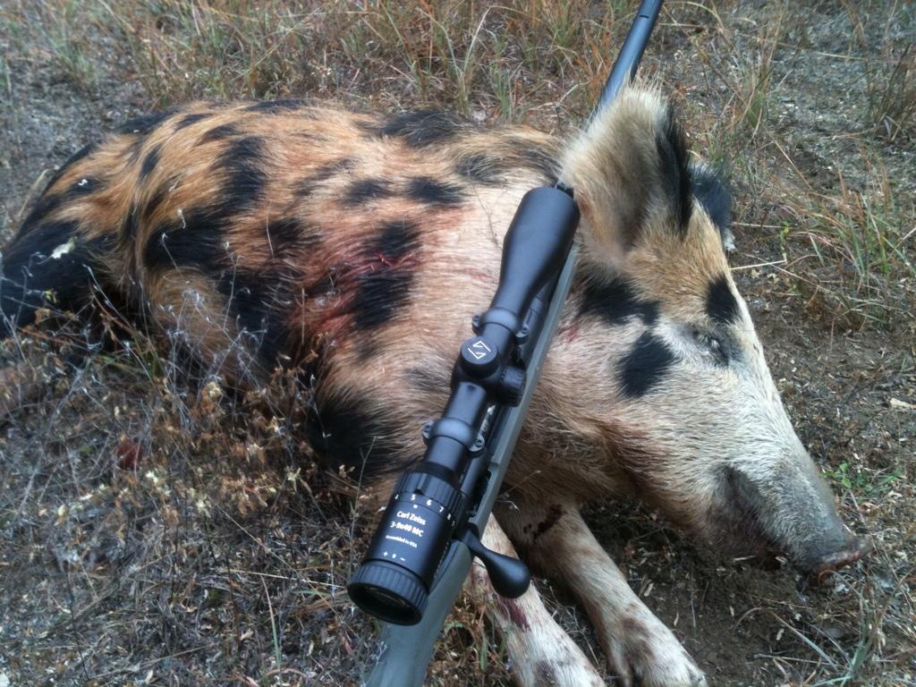 Wild hog hunted near Fort Worth.