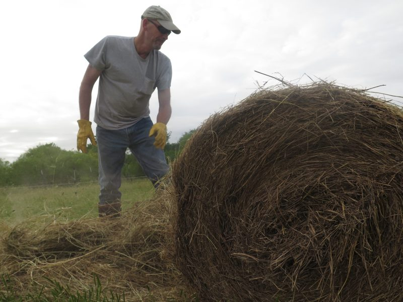 Doug Havemann, whose cattle are distributed throughout SA, spreads hay on his ranch at Mesquite Field Farm in Nixon, Texas.