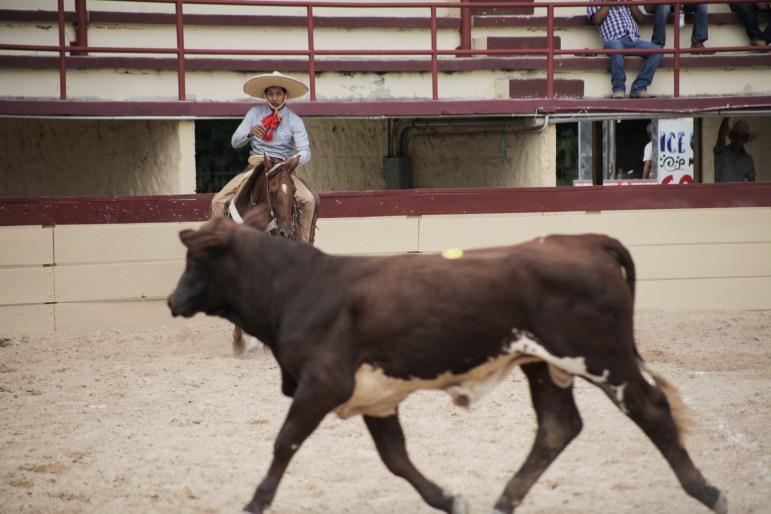 A charro competes in the colas en lienzo (bull tailing) event at the 70th anniversary of Charreada in San Antonio.