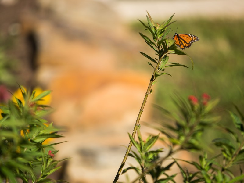 A Monarch butterfly is perched atop Tropical milkweed at a city pollinator garden along the King William Reach.
