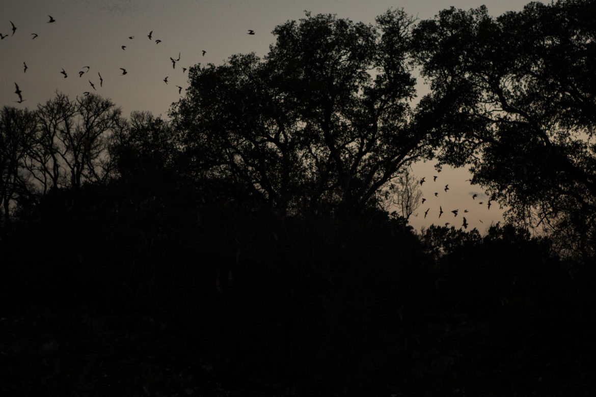 Bats leave Bracken Cave for the evening to hunt for food during the night.