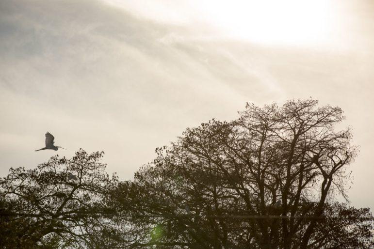 A great egret flies to it's nest at Brackenridge Park along the San Antonio River.