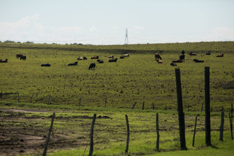 Grazing cows on the Boening Ranch Land will be used for beef processing.