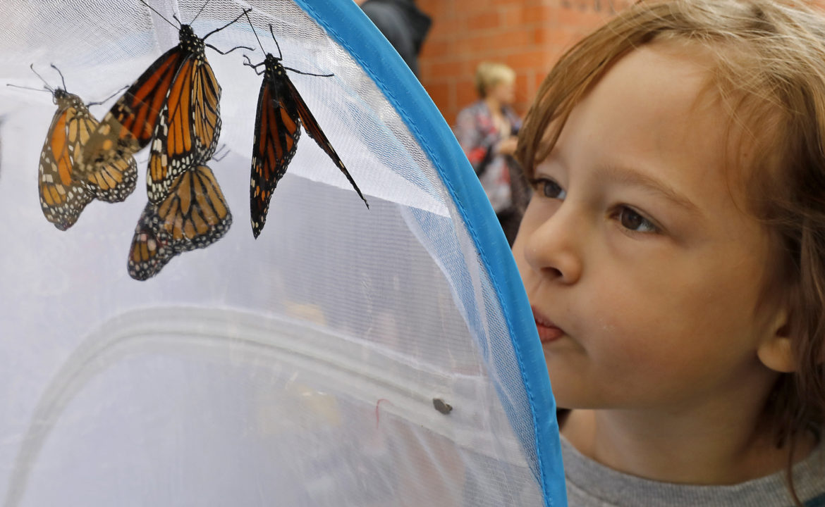 Benny Prado looks at monarch butterflies during the Monarch Butterfly & Pollinator Festival held in 2018.