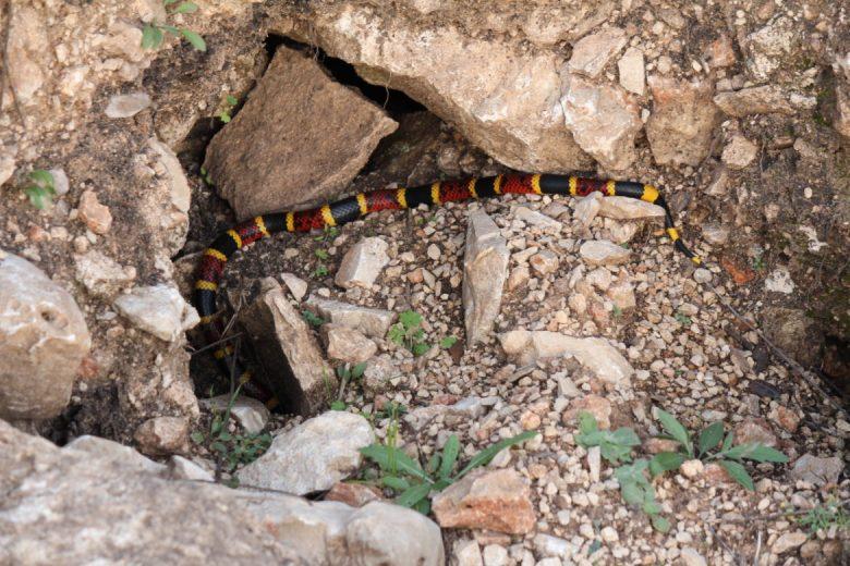 A Texas coral snake slides into a crevice.