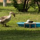 Water fowl take advantage of the kiddie pools filled with water left by residents.