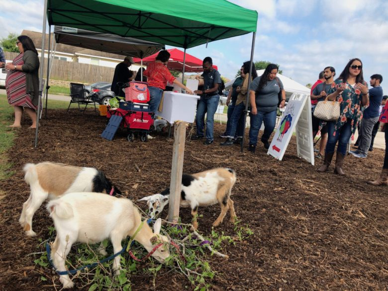 Small goats will eventually be utilized at the Martinez Street Urban Farm.