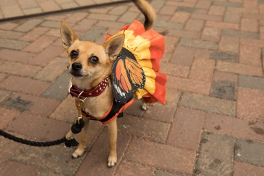 Marilyn the chihuahua wears a monarch butterfly costume at the festival.