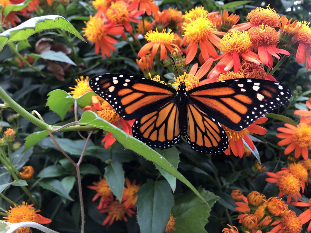 Monarch butterflies are heading to San Antonio