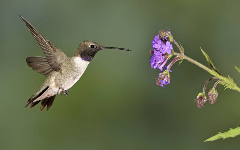 Black-chinned hummingbird nectaring on verbena.
