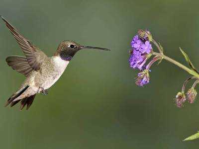 Black-chinned hummingbird nectaring on verbena.