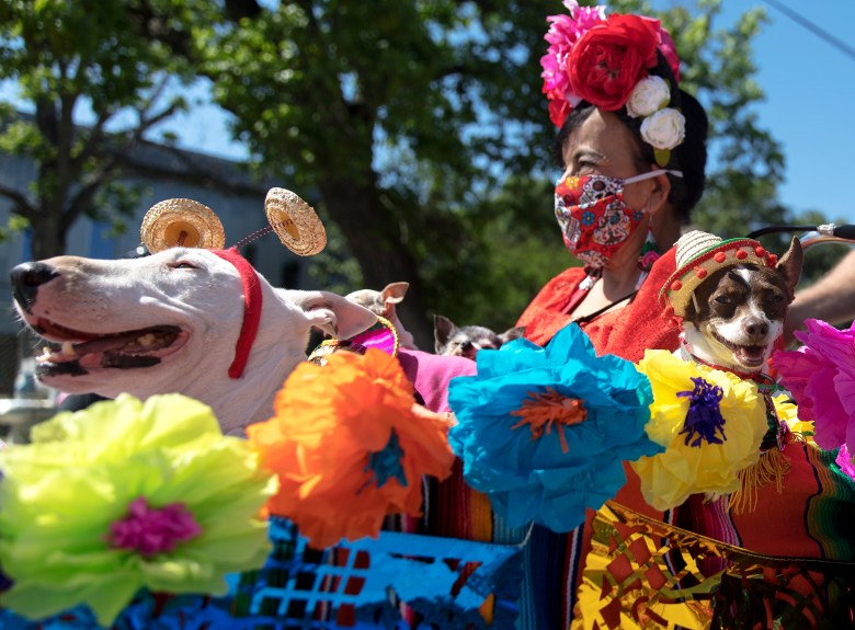 Thelma Rodriguez sits in a basket with Newman, a bull terrier, and Pixie, a Chihuahua, during the inaugural Fiesta Bike Parade on Saturday.