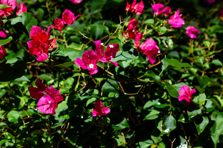 Bougainvillea is also found in Frida Kahlo's garden at the Casa Azul in Mexico City. The San Antonio Botanical gardens plant some of her favorite foliage in this new exhibition which highlights the painter's passion for the natural world.