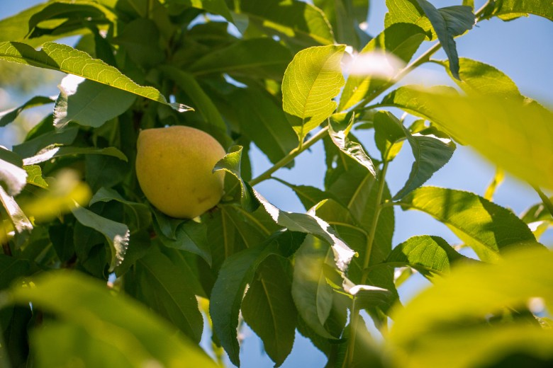 An unripe peach grows in the shade of its tree in their backyard.