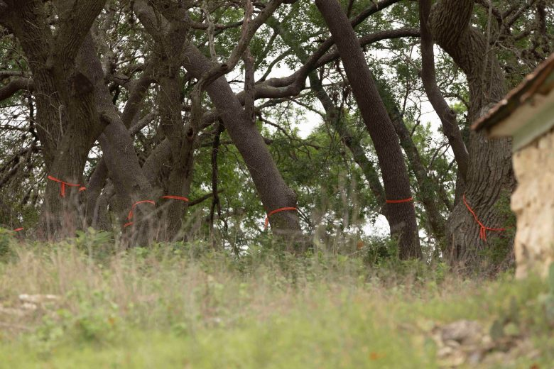 A group of oak trees are marked with tape that identifies possible removal for the wastewater pipeline.