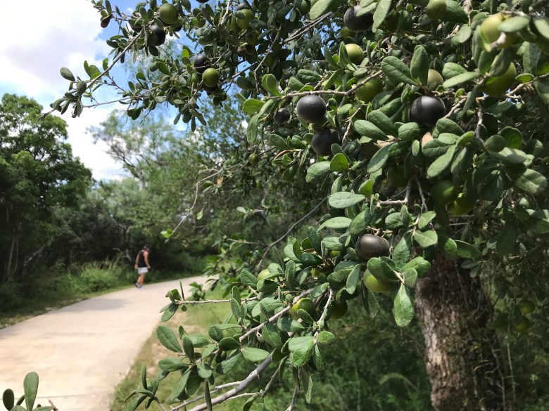Ripe purple Texas persimmons are ready for picking along Helotes Creek Greenway.