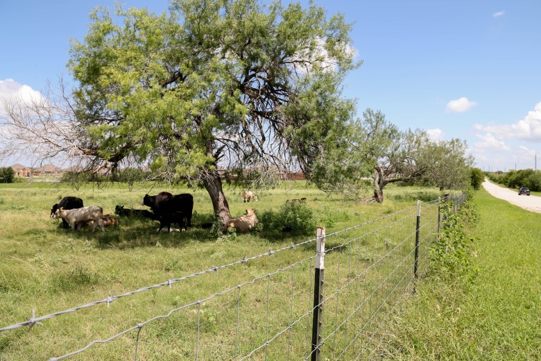 Cows lounge in the shade of a big tree in Converse Texas, Thursday.