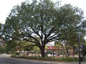 Photo of Legacy Oak on Main Plaza