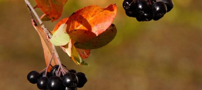 Aronia – superalimentul lunii septembrie