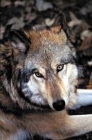 Bosco Montauro, il lupo è lì …