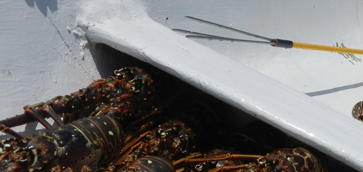 lobster catch San Blas