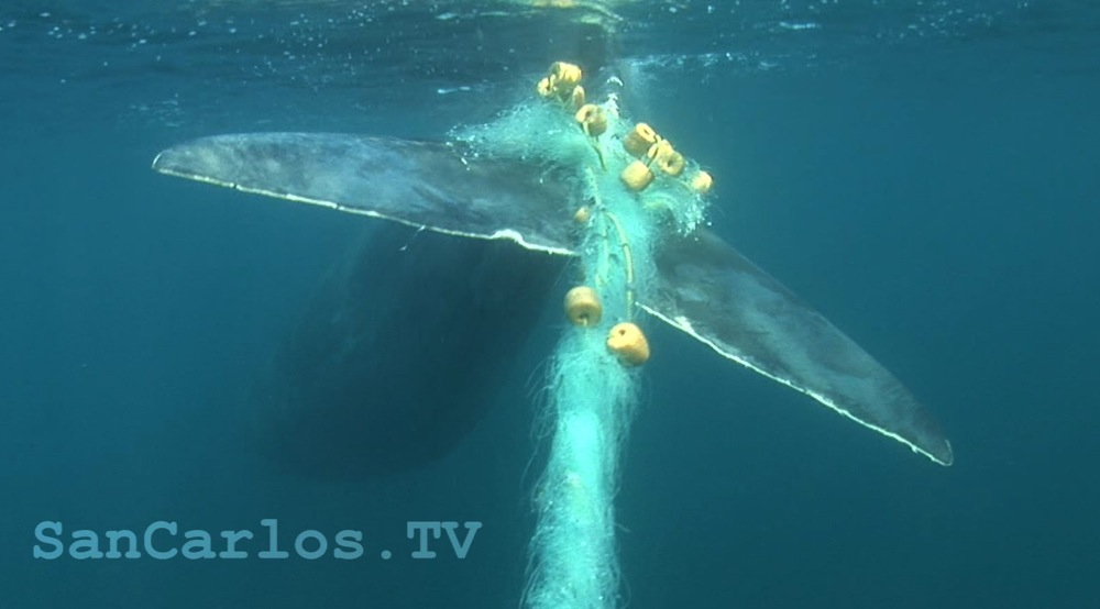 Sperm Whale Marine Turtle Gil Net Rescue A Success!!