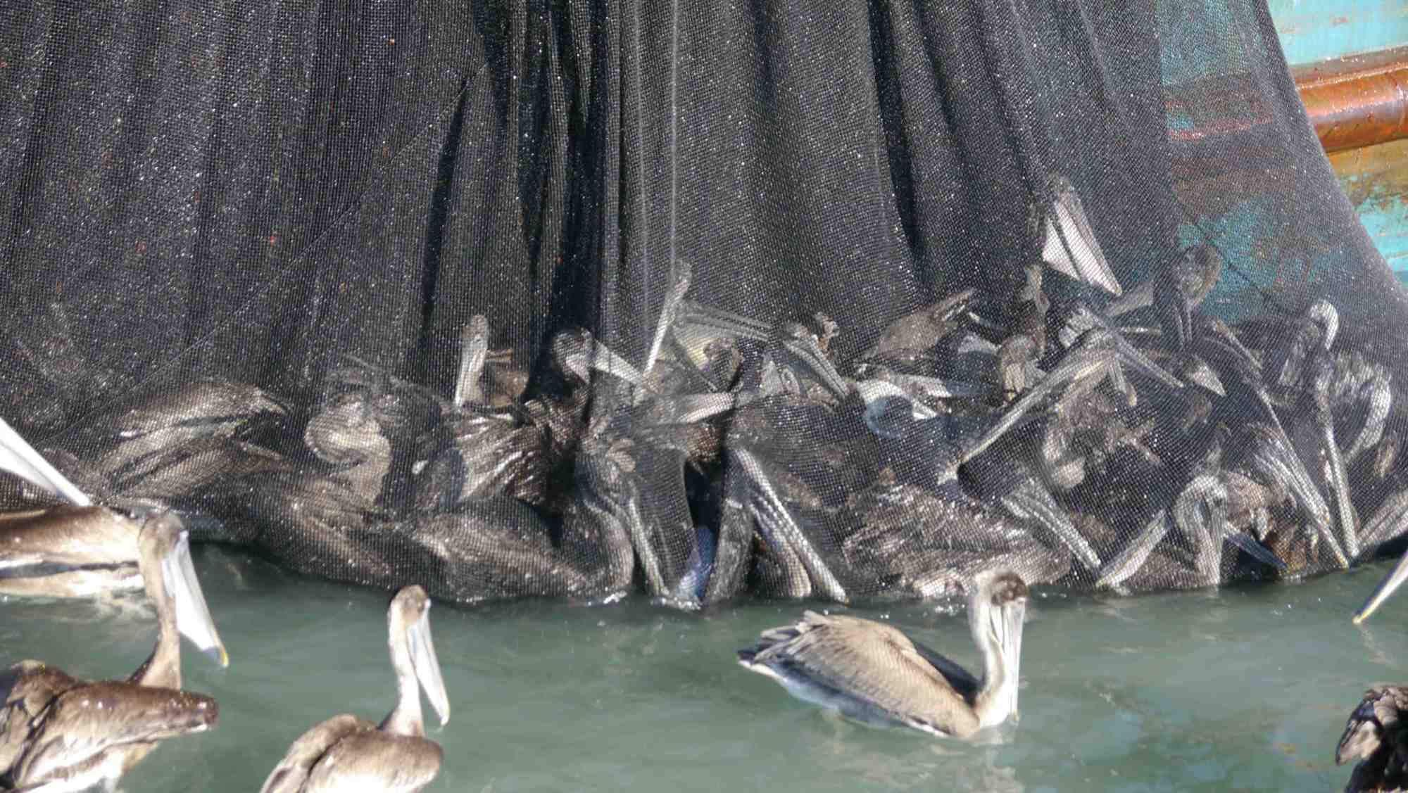 Guaymas Commercial Sardine Fishery: Preliminary Report